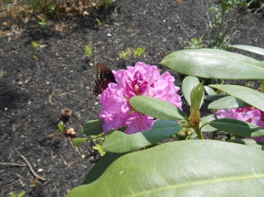 Butterfly on Rhododendron