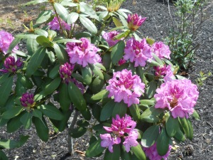 I stopped to take a picture of this rhododendron in my back yard.