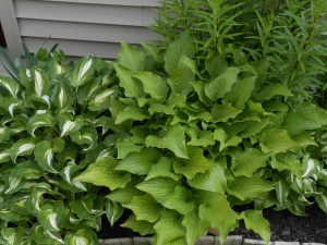 Hosta plants before the attack.