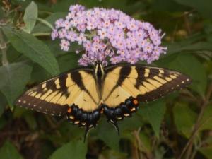 Yellow butterfly on a butterfly bush