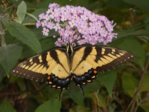 Yellow butterfly on a butterfly bush