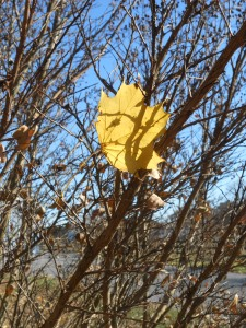 One yellow leaf caught in the bushes...