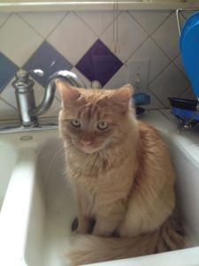 One more kitty in a sink... Photo Jill Pastore