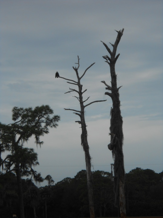 The male eagle, Ozzie, is sitting in the dead tree.
