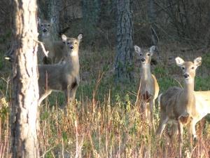 deer 4.